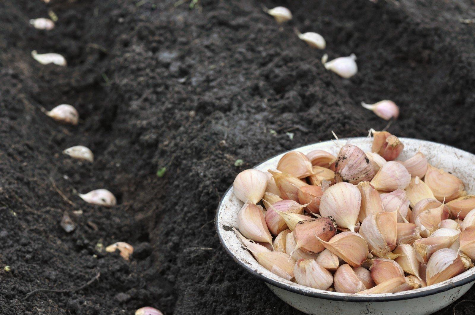 Яровой чеснок: когда сажать и как выращивать. Чеснок 6