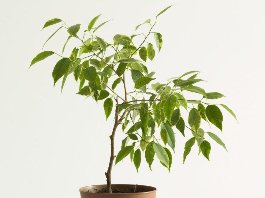 10 kambarini augal kurie visi kai pakeis j s namus - Zimmerpflanze rankend ...