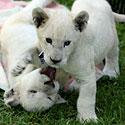 Aštuonių savaičių baltųjų liūtukų dvynių porelė.