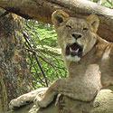 Liūtai
