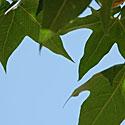 Medis, lapai