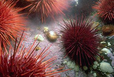 Pavojingi gyvūnai: jūros ežiai