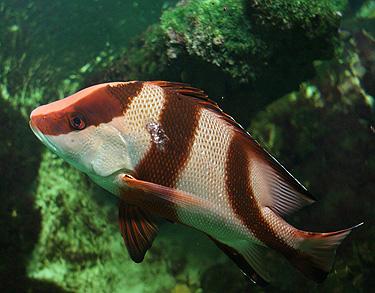 Akvariumo žuvis