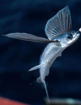 Žuvis skraiduolė