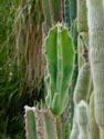 Kaktusai_11
