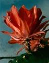 Kaktusai_25