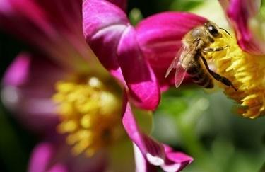 Bitė renka medų iš viename Sofijos parke žydinčių gėlių