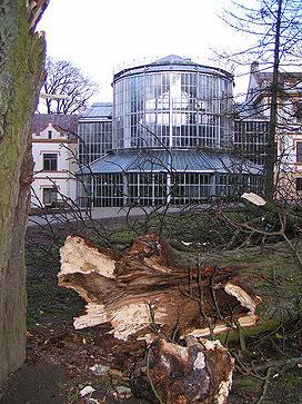 Uragano išverstas medis Kretingoje