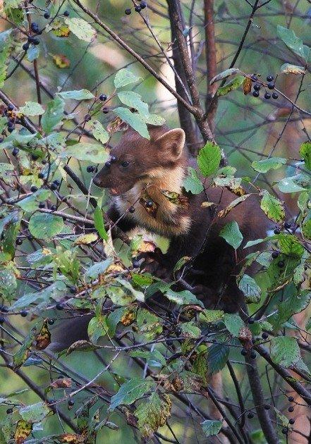 Šaltekšnių uogomis mėgaujasi miškinė kiaunė