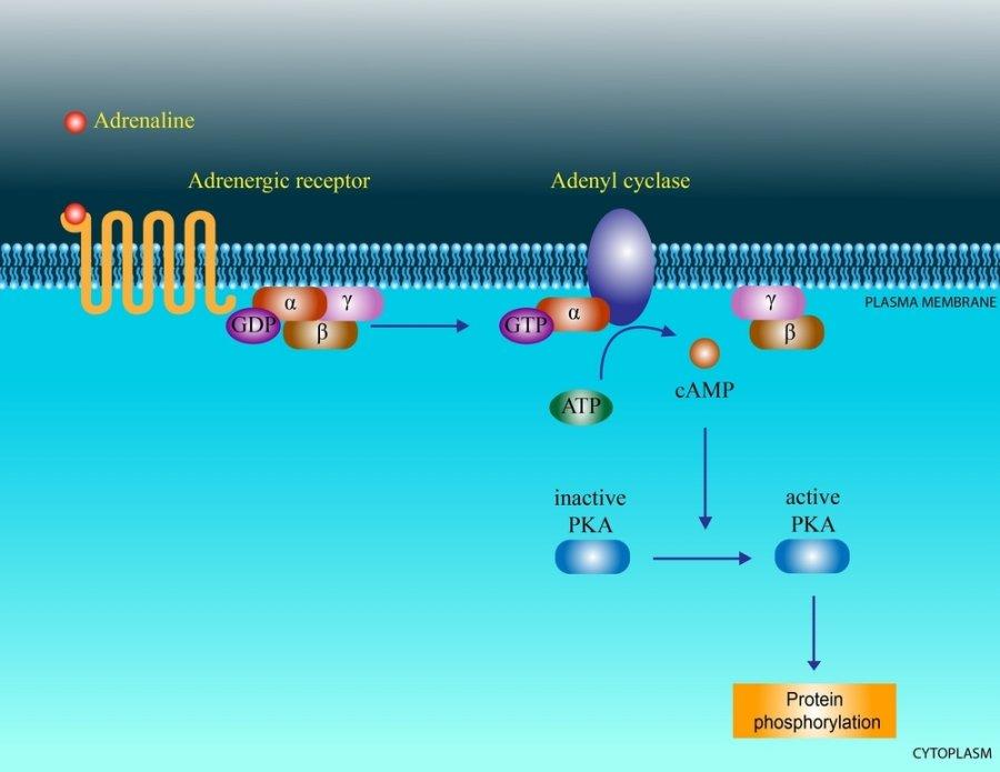 hipertenzijos baltymai