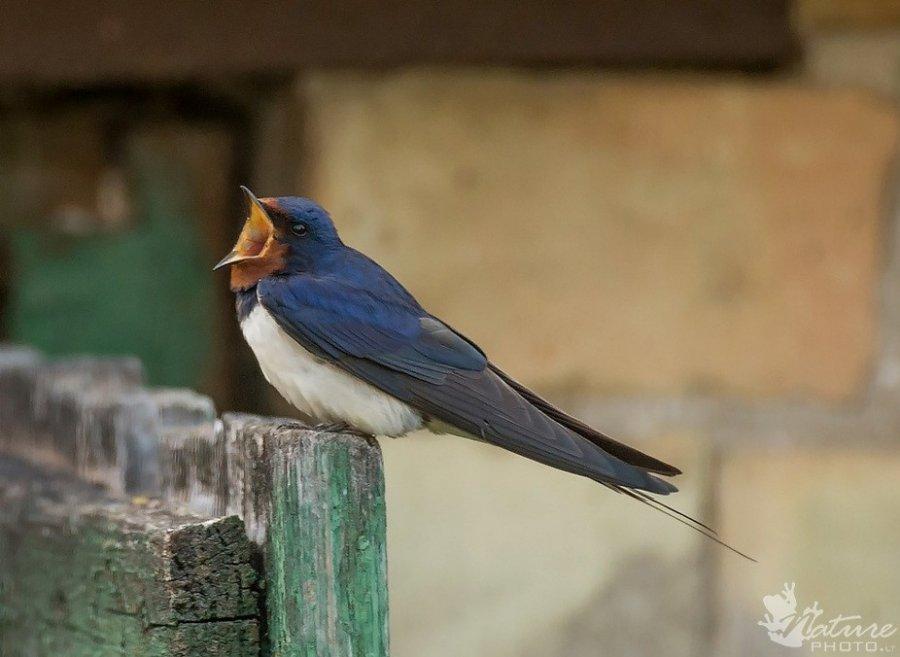 Nykstantys pauksciai