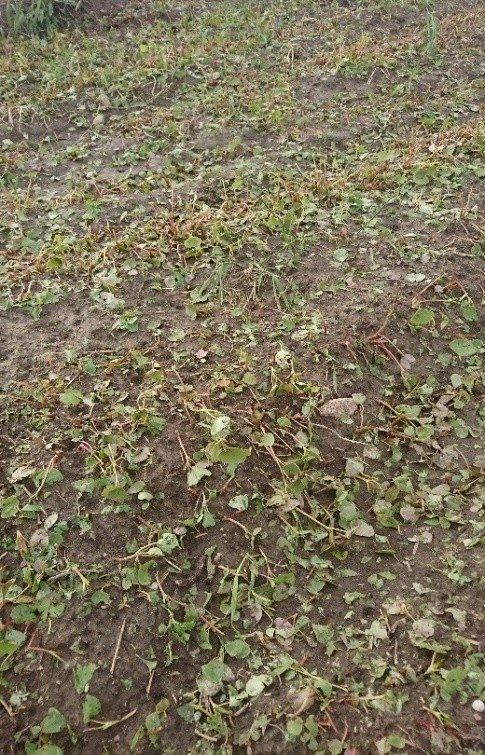 Krušos pažeistas grikių pasėlis Ignalinos rajone