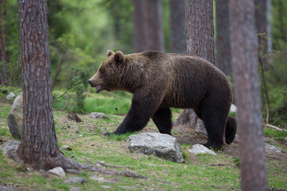 картинки лес медведь на рабочий стол