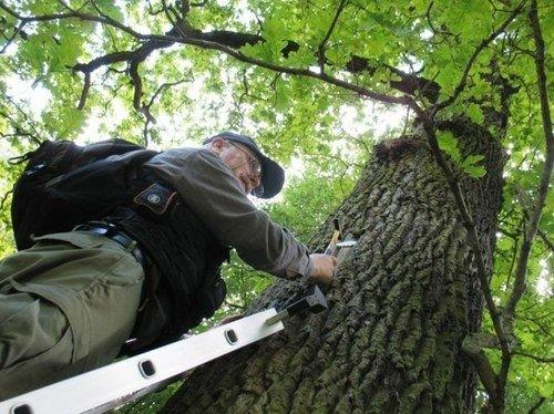 Mokslininkas tikrina Kauno ąžuolus ieškodamas auksavabalio buveinų. Giedriaus Švitros nuotr.