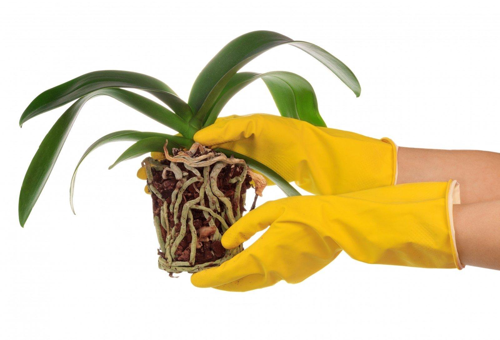 Orchidėjos persodinimas